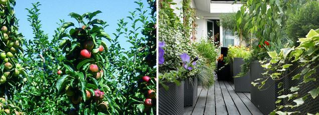 Les arbres colonnaires, comme ce pommier (à gauche) sont particulièrement adapté à la culture en pot sur un balcon.
