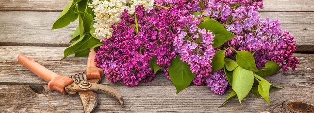 Le bouturage du lilas s'effectue en cette saison.
