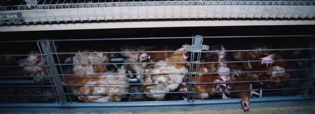 Les images ont été tournées en caméra cachée dans un élevage de poules pondeuses vendéen.