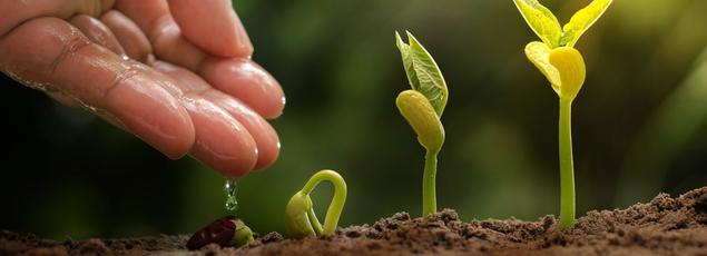 Les haricots doivent être semés dans une terre suffisamment réchauffée.