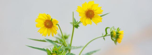 Chrysanthème comestible en fleurs.