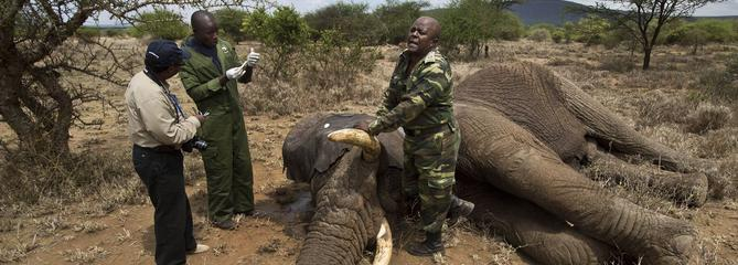 Braconnage et trafics mettent en danger les espèces protégées