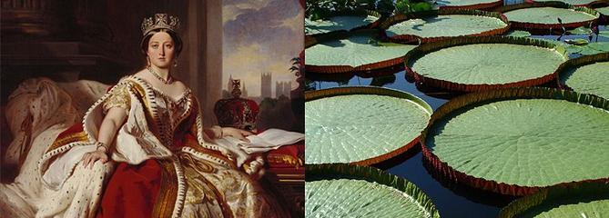 Histoire de plantes: le nénuphar géant de la reine Victoria