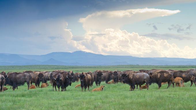 Au Colorado, le ciel est plus grand qu'ailleurs. Sans doute pour contenir un trop-plein de nature, comme cette bande de bisons du Zapata Ranch, héritière des immenses troupeaux qui régnaient sur la prairie.