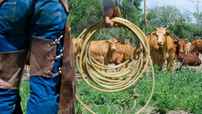 Dans l'oeil du lasso: les jeunes mères regardent l'arrivée du rancher avec appréhension. Le Chico Basin Ranch (1 800 vaches) organise une demi-douzaine de «branding days» chaque année.