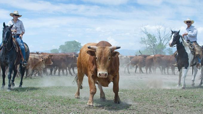 La sélection des taureaux reproducteurs est une grande affaire. Après les avoir isolés dans un corral, les ranchers les font défiler pour observer leur allure générale.