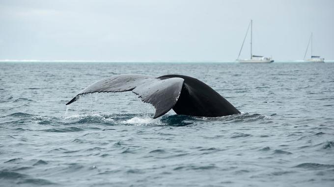 Les eaux de Polynésie sont fréquentées par 25 des 81 espèces de cétacés identifiées dans le monde. Parmi elles, les baleines à bosses viennent y passer l'hiver austral.