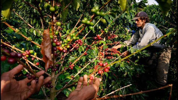 La région du café peut se visiter toute l'année. Plusieurs récoltes se succèdent, favorisées par des conditions climatiques idéales. La Colombie produit environ 10 % du café dans le monde.