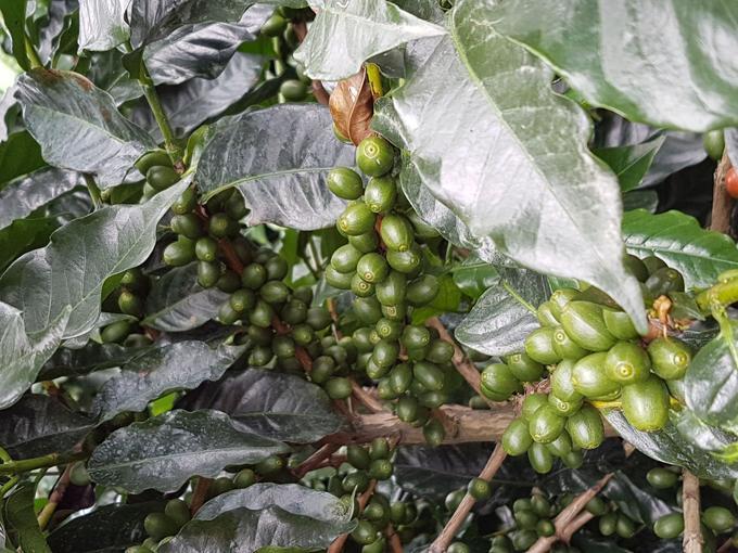Les grains sont récoltés à partir du mois de novembre