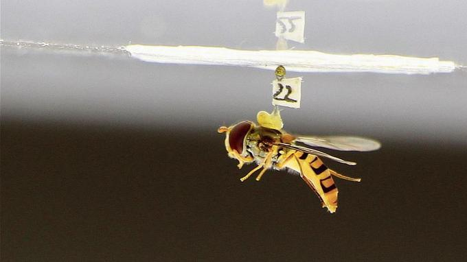 Une mouche syrphe juste avant sa chute libre - Crédit photo: Stéphane Viollet et Romand Goulard - CNRS