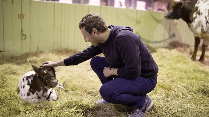 Mark Zuckerberg et un veau