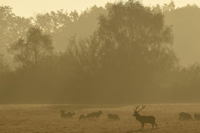 Après les sangliers, les grands cervidés sont parmi les plus nombreux à Chambord, avec environ 700 cerfs, biches et faons.