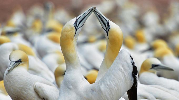 Comme deux épées, les becs s'entrechoquent. Les cous s'étirent vers le haut. Les poitrines se font face. Les ailes se déploient. On hoche la tête. Après une parade nuptiale très codifiée, le couple de fous de Bassan restera uni pour la vie.
