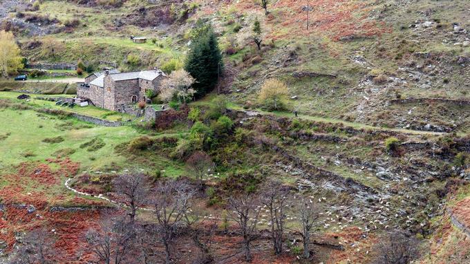 Un troupeau de moutons accompagné d'un berger pâture autour d'un mas cévenol, vers le hameau de Mazeldan à quelques kilomètres de Barre des Cévennes. (Olivier Prohin / Parc national des Cévennes)
