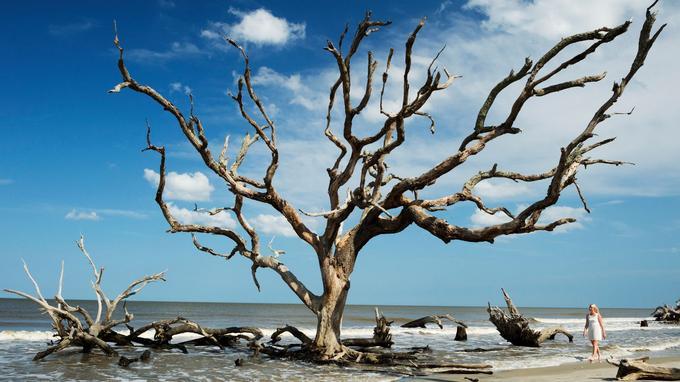 Sur Driftwood Beach (Golden Isles), l'océan a blanchi les chênes, qu'il dévoile à marée basse. Du land art 100 % naturel.