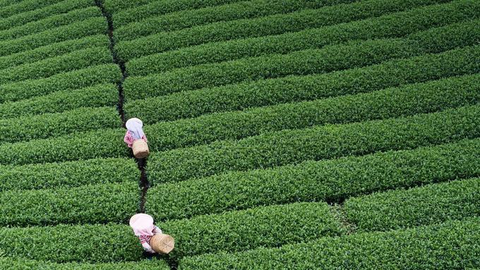 Récolte du fameux thé Oolong. Il se déguste comme un grand vin, à l'issue d'un cérémonial pointilleux.
