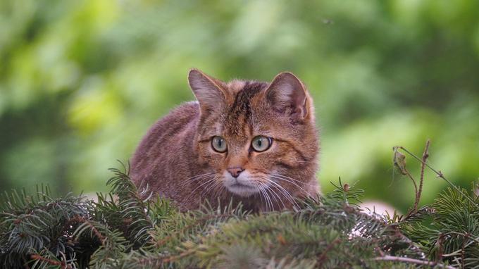 La domestication des chats s'est faite en deux vagues distinctes.