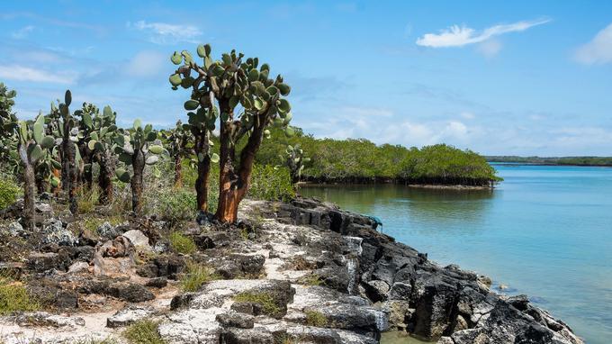 Sur toutes les îles, les paysages relèvent du registre de l'étrange. A l'extrémité de Tortuga Bay, la plage de sable blanc cède la place à une forêt de cactus opuntia et une zone de mangrove.
