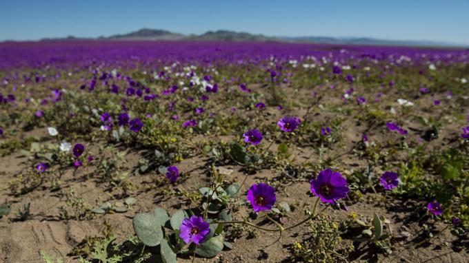 Le désert d'Atacama couvert de fleurs — Chili