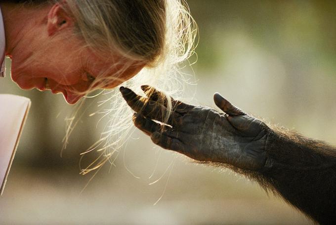 L'anthropologue Jane Goodall a crée un lien unique avec les chimpanzés qu'elle étudie. Il en ressort des moments rares comme cette main tendue par Jou Jou, au zoo de Brazzaville, en République du Congo. (1990)