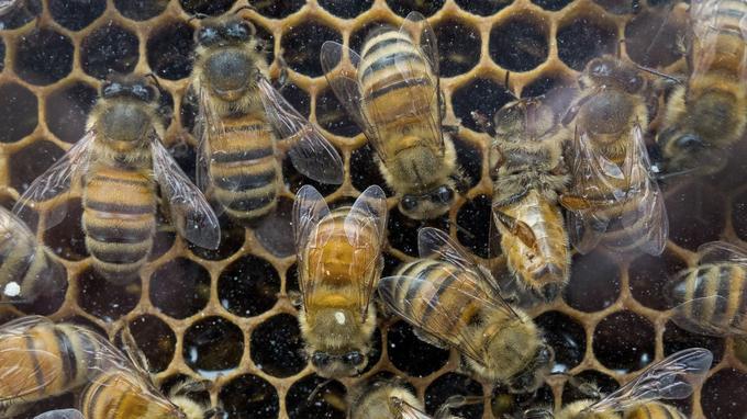 En 2016, les Nations Unies ont prévenu que 40% des invertébrés pollinisateurs - en particulier abeilles et papillons - risquaient une extinction à l'échelle mondiale.