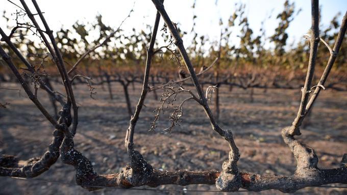 Près de Santa Rosa, des vignobles ont été abîmés, non par les incendies directement, mais par la chaleur qu'ils dégagent. <i>Crédits Photo: ROBYN BECK/AFP</i>