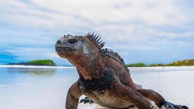 Véritable icône de l'archipel, l'iguane marin se laisse facilement approcher. Cette créature préhistorique s'est adaptée à l'environnement particulier des Galápagos. À marée basse, elle part brouter les algues en mer, avant de se prélasser sur les rivages rocheux
