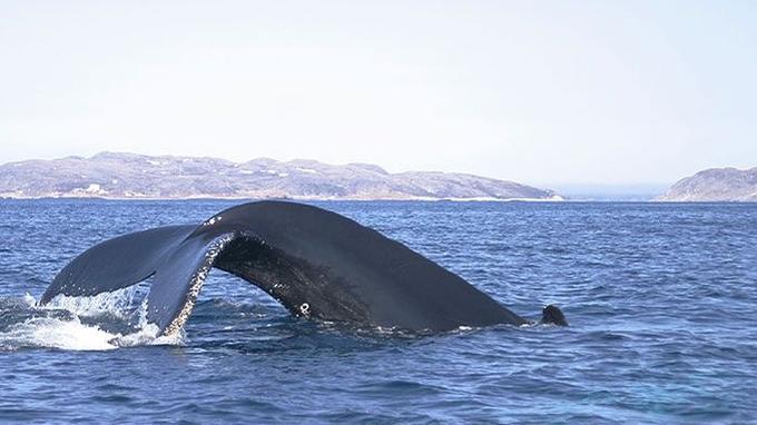 Baleines à bosses, rorquals et dauphins se découvrent dans des conditions très confortables.
