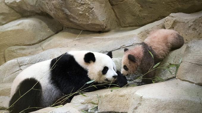 © Zoo de Beauval / AP