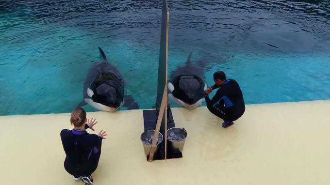 Marineland d'Antibes: L'orque Wikie apprend à parler