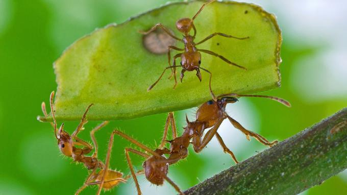 Même chez les fourmis, des individualités émergent: téméraires, réservées, réfléchies...