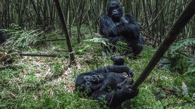On vient du monde entier pour approcher les gorilles du Rwanda, qui vivent en famille dans les forêts de bambous. L'expérience d'une vie.