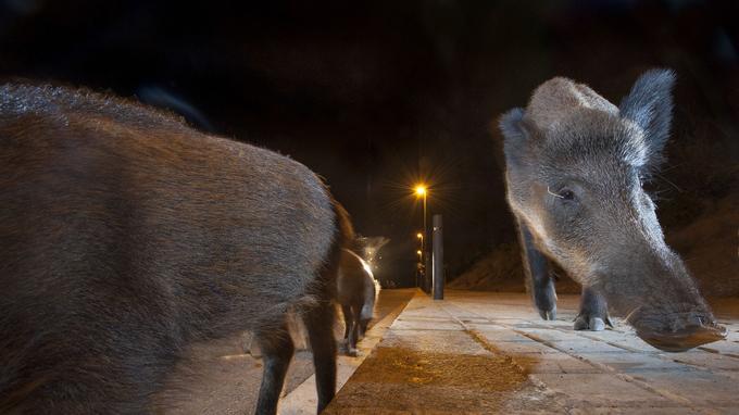Les sangliers vivent de plus en plus la nuit, ici à Barcelone.