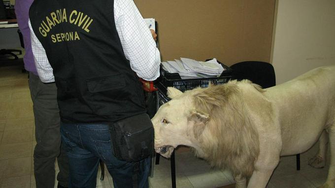 Un lion empaillé a été saisi.