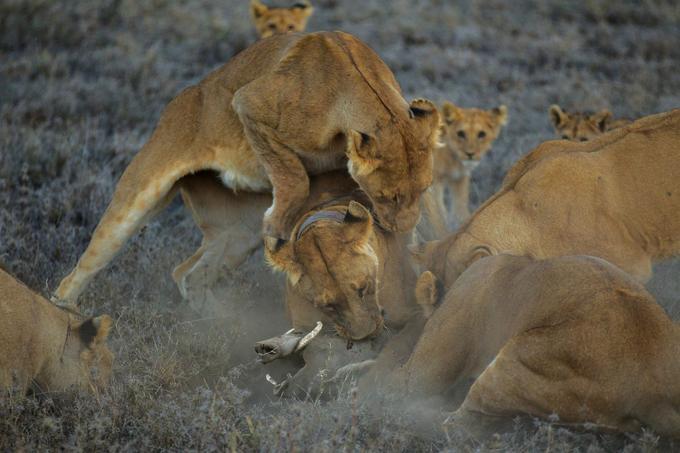 Parc national du Serengeti, Tanzanie, 2011. Chasse au phacochère par le groupe Vumbi, mené par une lionne portant un collier. © Michael Nichols / National Geographic Creative