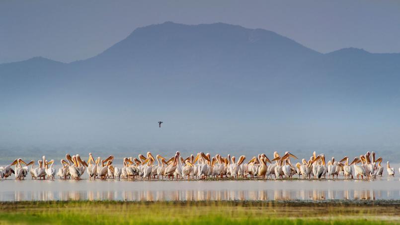 Cap sur le lac Burungipres, des centaines de pélicans profitent d'un moment de quiétude.