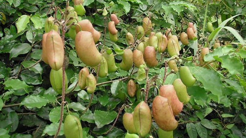 plantes tropicales contre l hypertension