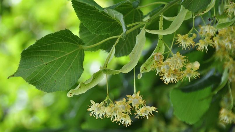 Dix plantes et un fruit pour mieux dormir for Plante pour dormir