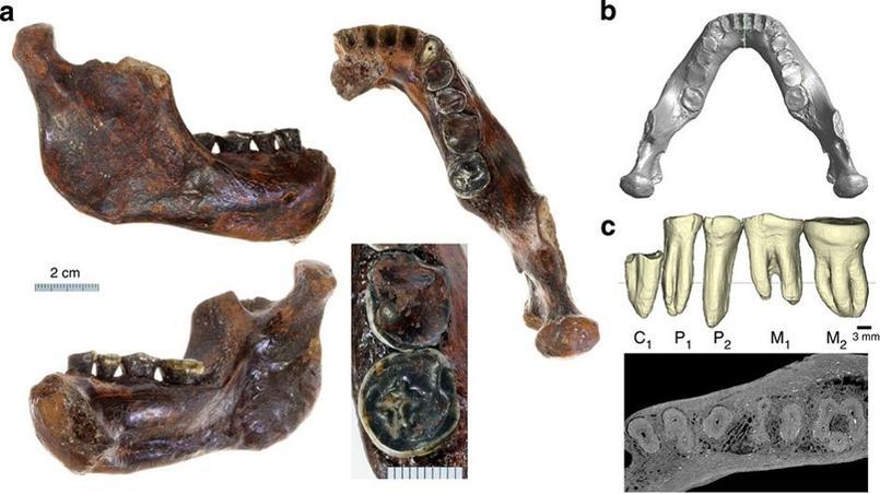 La mandibule «Penghu 1» sous plusieurs angles (a), la reconstitution virtuelle de la partie gauche (b) et une vue horizontale de la denture (c).