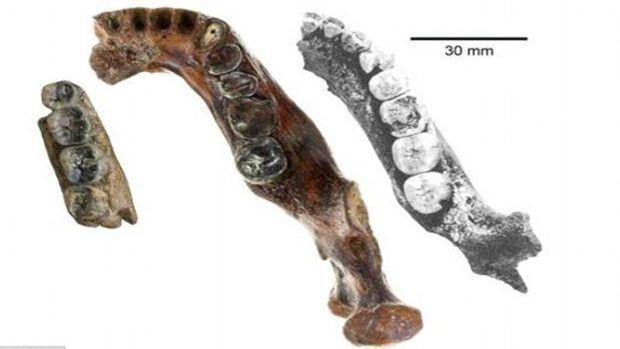 Malgré son jeune âge, «Penghu 1» (au centre) est plus large que les mandibules d'Homo erectus trouvées à Java (à gauche) et en Chine (à droite).