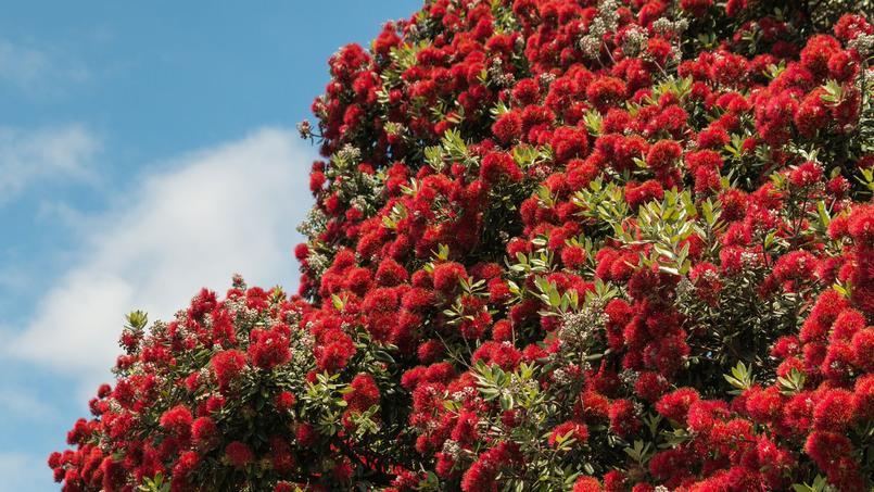Le sublime clat rouge des plantes de no l - Arbres a fleurs rouges ...