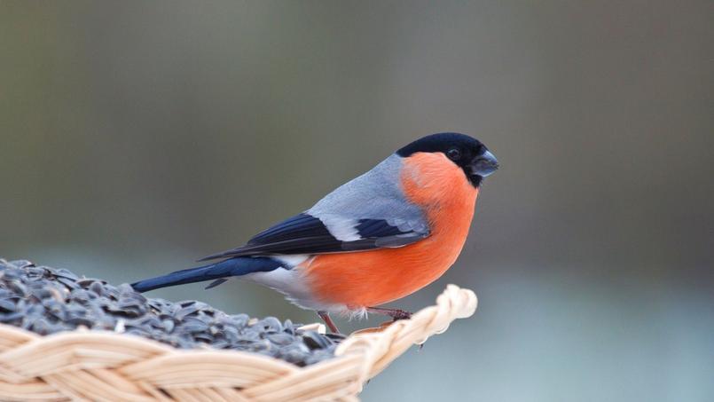 L 39 hiver les oiseaux du jardin ont besoin de nous for Oiseaux des jardins belgique