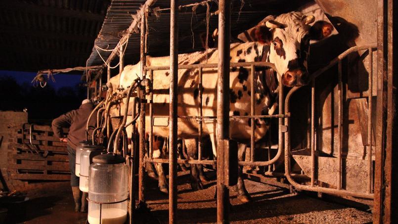 Jean Médard fait entrer ses vaches dans la salle de traite