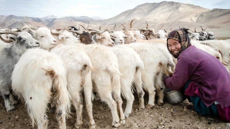 Plateau du Changtang, dans l'alpage de Korzok Phu, à 4 500 mètres d'altitude. C'est ainsi que les nomades attachent leurs chèvres, avant la traite matinale.
