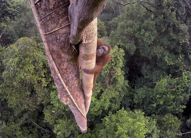 Un jeune mâle orang-outang grimpe à trente mètres de hauteur en se servant de la plus épaisse liane enroulée autour d