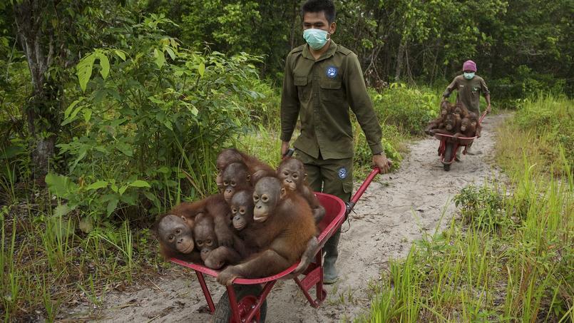 Un groupe de jeunes orangs-outangs orphelins dans le centre de soins de Ketapang, à l