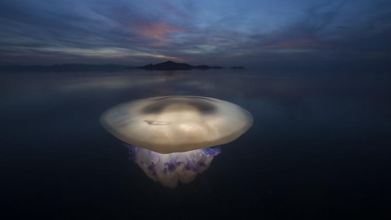 Une méduse rhizostome d