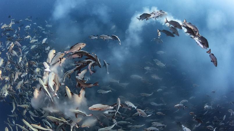 Quelques jours par mois, à la pleine lune, des milliers de vivaneaux chiens-rouges se rassemblent pour frayer autour de l