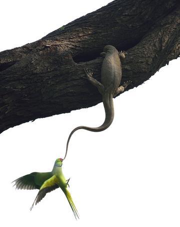 Une perruche à collier tente de déloger un varan du Bengale de son site de ponte, dans un grand arbre du parc national indien de Keoladeo.