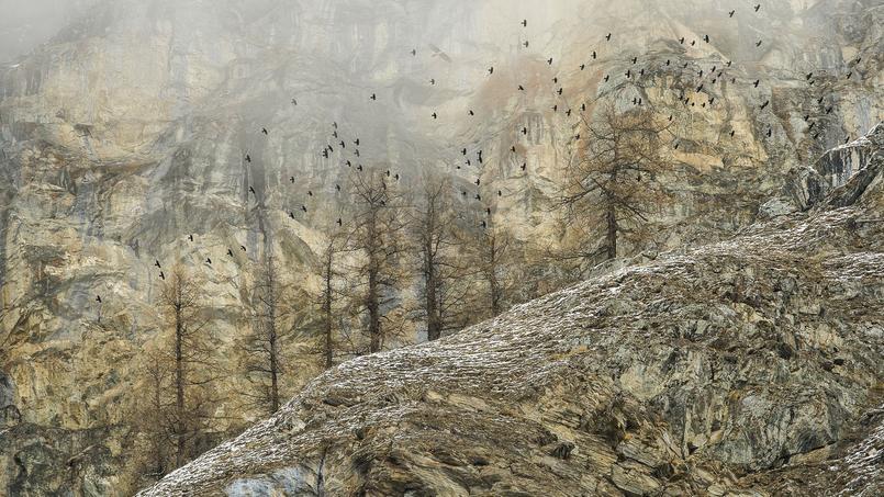 Un vol de chocards à bec jaune traverse un paysage sauvage dans le parc national du Grand Paradis, dans la vallée d